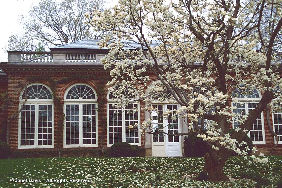 Dumbarton Oaks-Magnolia denudata-Orangery