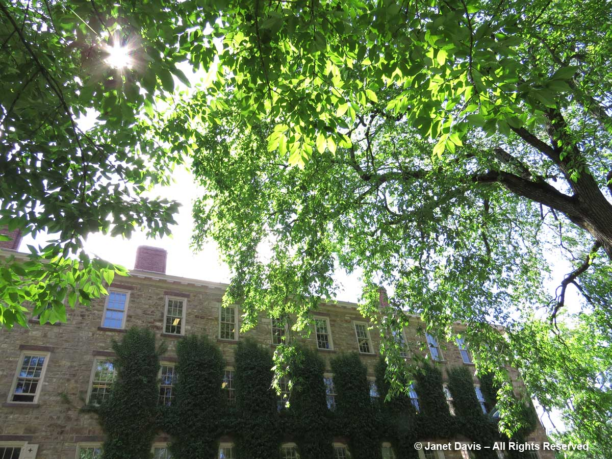 Fraxinus americana-White ash-Toni Morrison College-Princeton