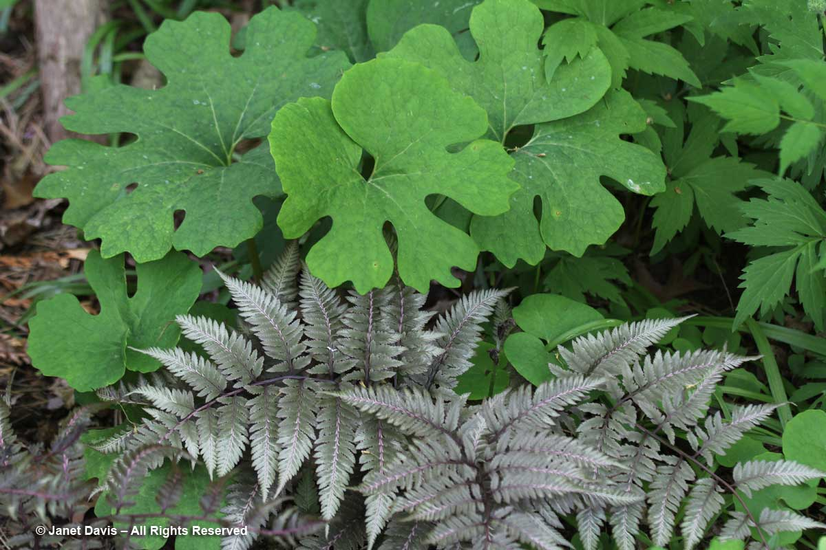 Japanese painted fern & bloodroot