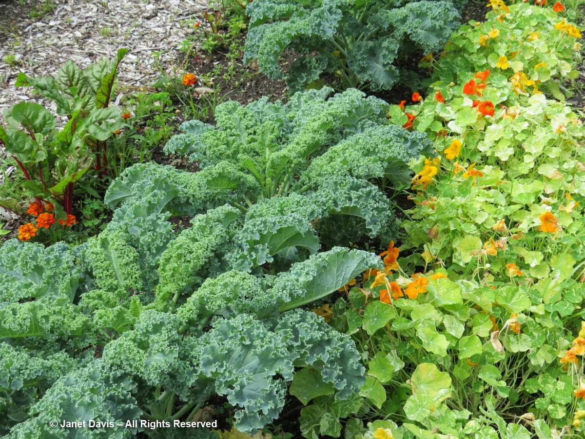 Kale & Nasturtiums-Kitchen Garden-Dumbarton Oaks