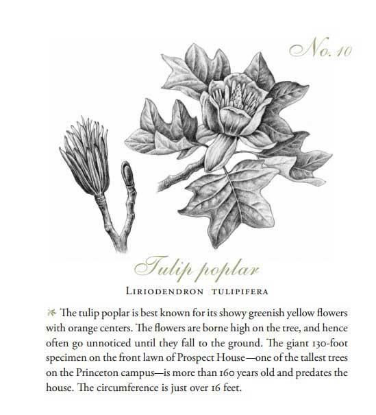 Liriodendron tulipifera-Little Tree Book-Princeton University