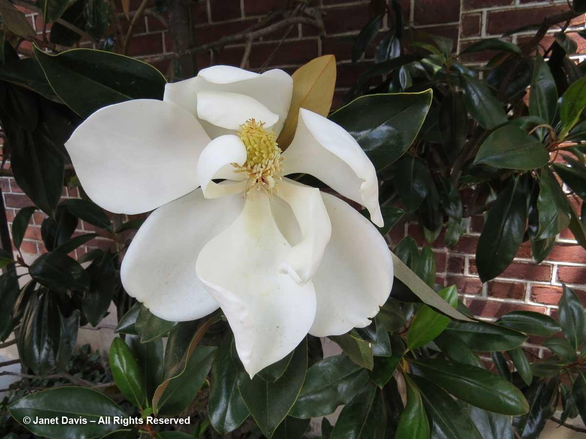 Magnolia grandiflora-Southern magnolia-Dumbarton Oaks