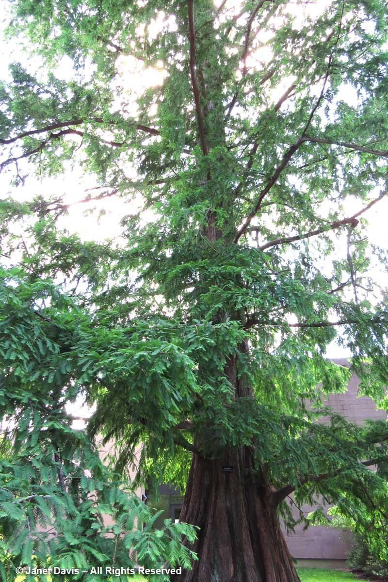 Metasequoia glyptostroboides-dawn redwood-Princeton