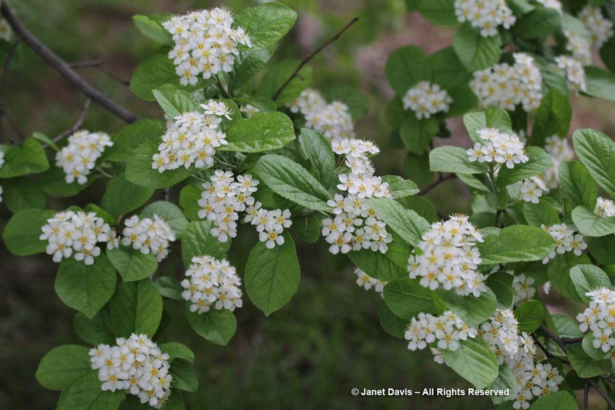 Photinia villosa-Oriental photinia
