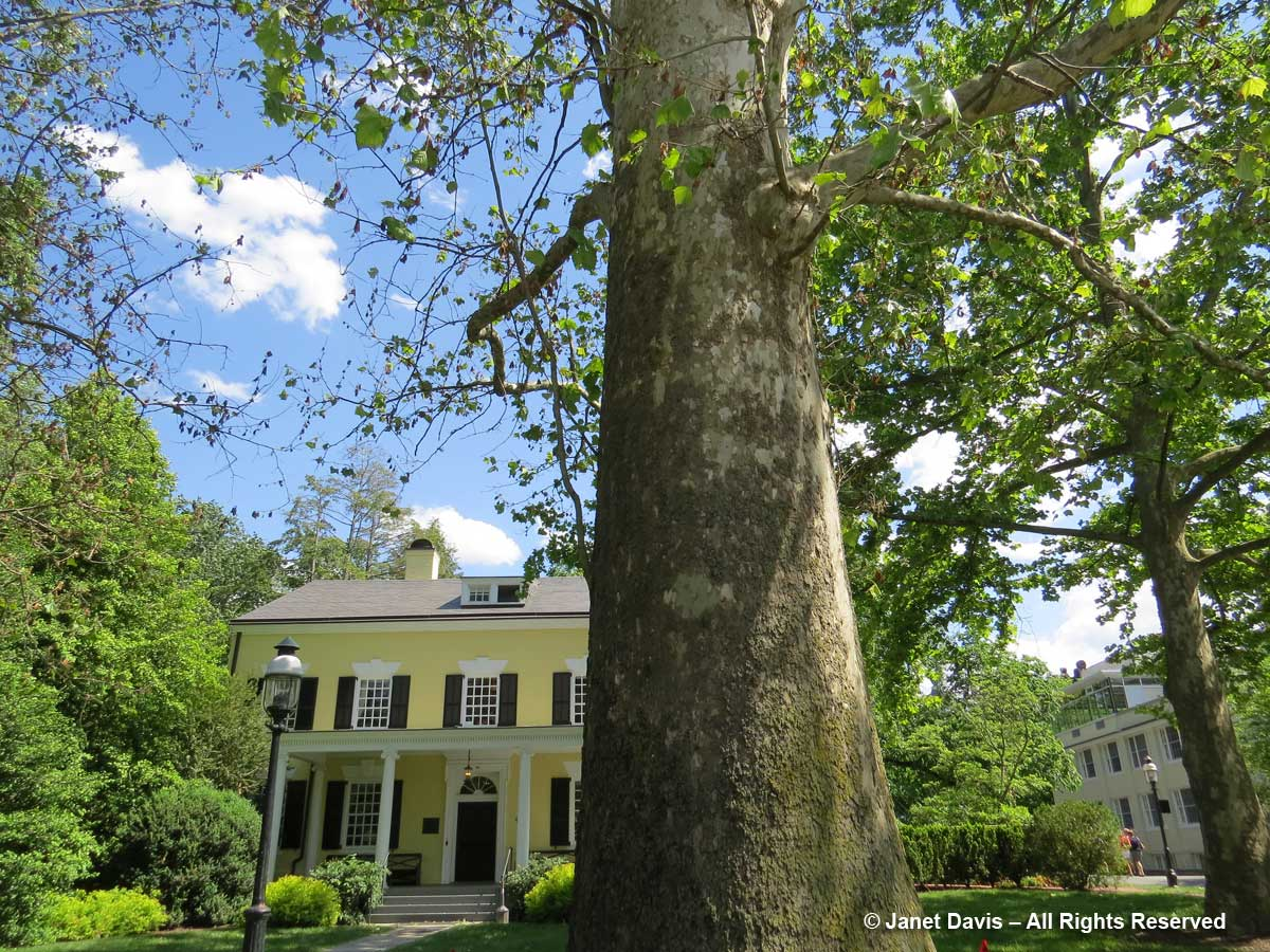 Platanus occidentalis-American sycamore-Maclean House-Princeton