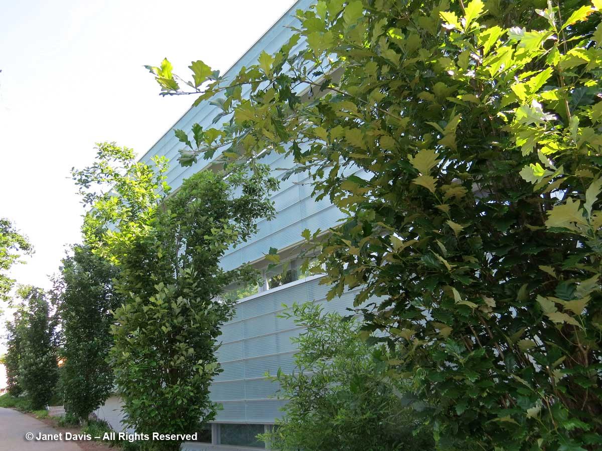 Quercus robur-English oak-Princeton Neuroscience Institute