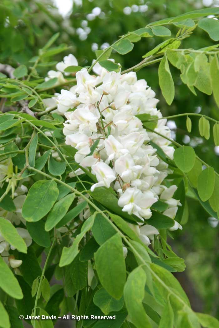 Robinia pseudoacacia-black locust-flower