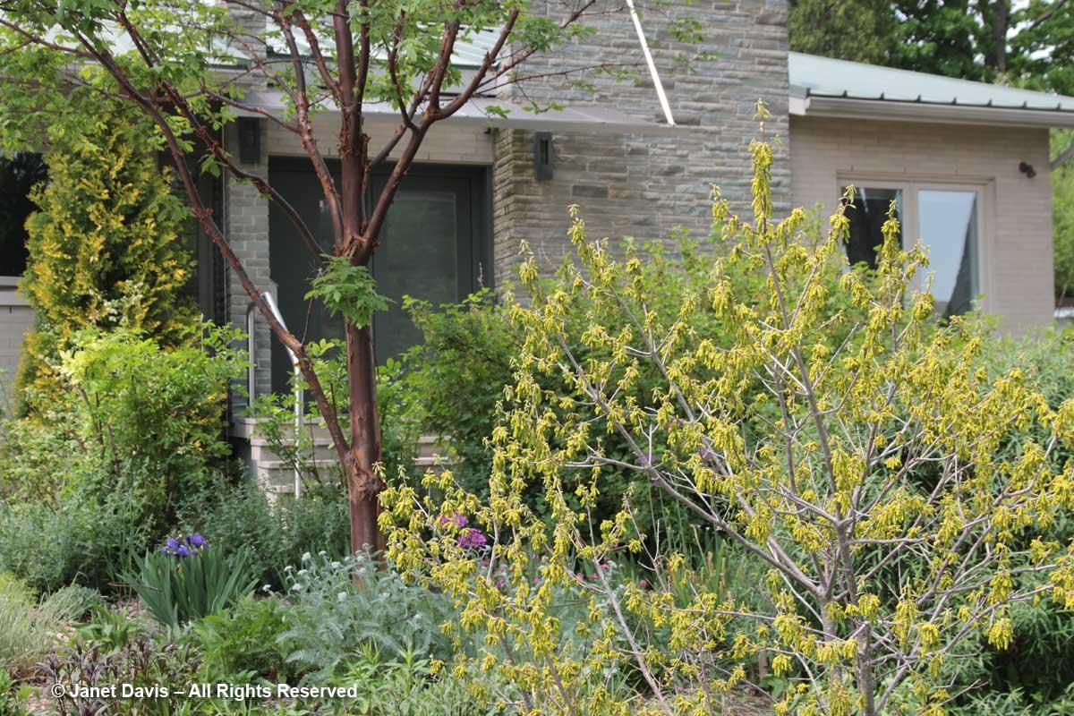 Siri Luckow-Quercus prinoides-dwarf chinkapin oak