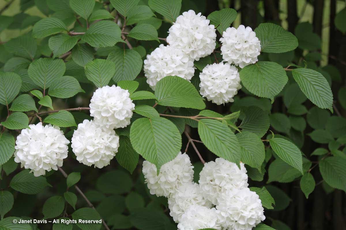 Viburnum plicatum-Japanese snowball