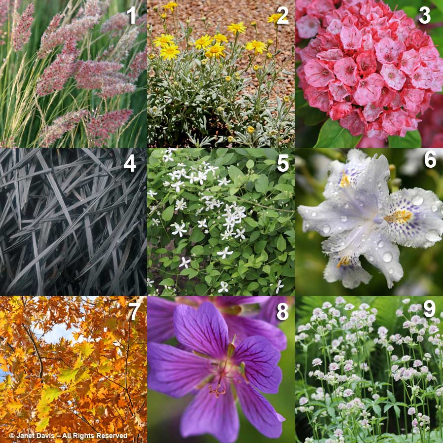 """ALPHABET"" (not an anagram, a logic puzzle) 1 – Melinis nerviglumis 2 – Encelia farinosa 3 – Kalmia latifolia 4 – Ophiopogon planiscapus 5 – Clematis dioscoreifolia 6 – Iris japonica 7 – Quercus rubra 8 – Geranium himalayense 9 – Astrantia bavarica Ab, Cd*, Ef, Gh, Ij, Kl, Mn, Op, Qr (* I went with the plant label, but learned after I made up the puzzle that Clematis dioscoreifolia is a synonym for Clematis terniflora)"