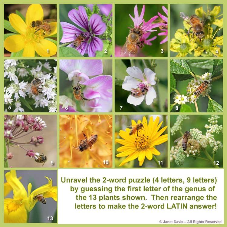 """""""APIS MELLIFERA"""" - Latin for honey bee 9-Asclepias syriaca 5-Pycnanthemum virginianum 8-Ilex verticillata 11-Silphium perfoliatum 2-Malva sylvestris 10-Eremurus 'Cleopatra' 3-Lychnis flos-cuculi 6-Lathyrus latifolius 13-Iris pseudacorus 12-Filipendula ulmaria 1-Eranthis hyemalis 4-Ruta graveolens 7-Althaea officinalis"""