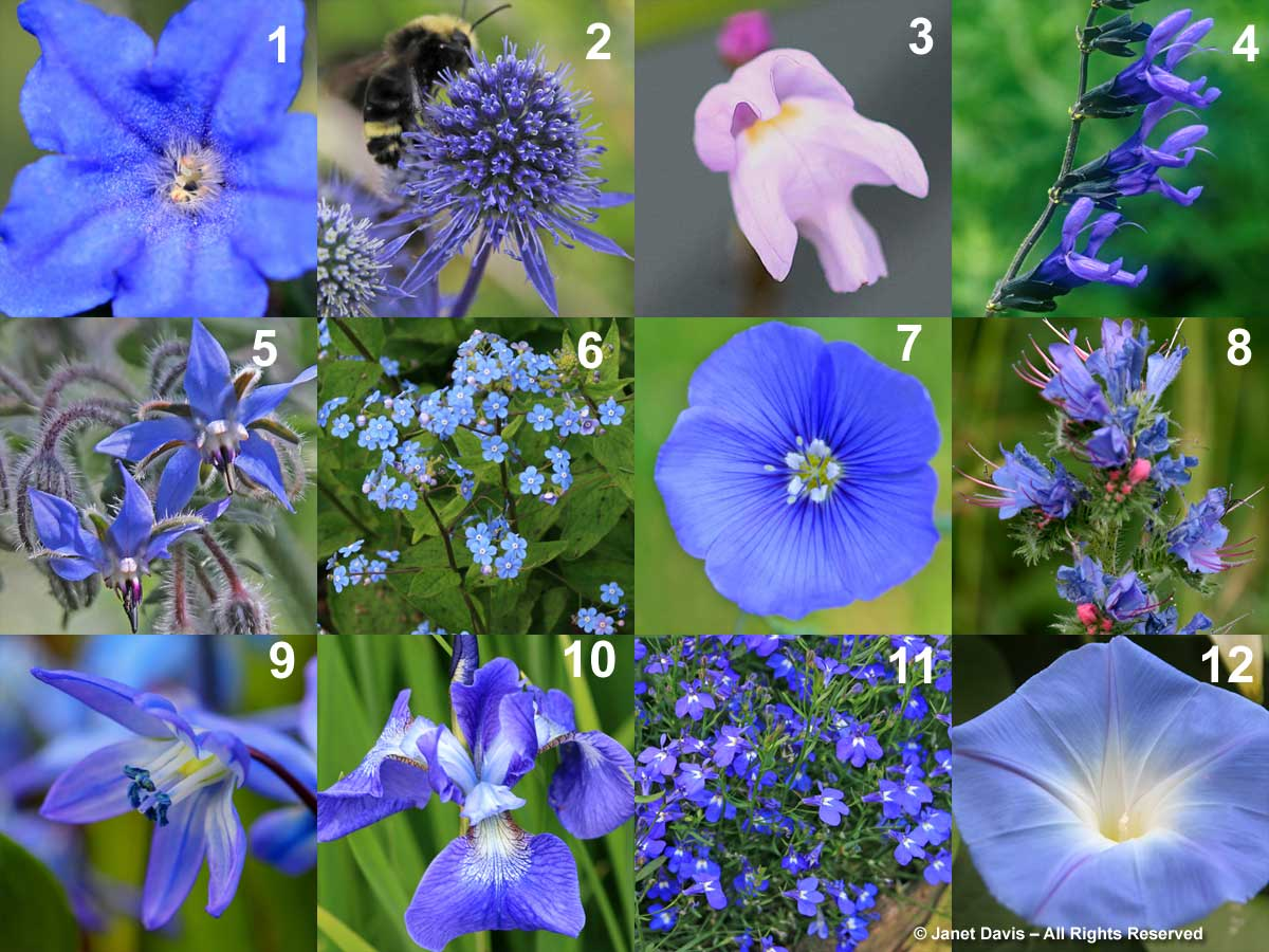 LEUSBBLESILI = BILLIES BLUES 6-Brunnera macrophylla 10-Iris sibirica 'Bennerup Blue' 7-Linum perenne 11-Lobelia erinus 'Sapphire Blue' 12-Ipomoea tricolor 'Heavenly Blue' 8-Echium vulgare 9-Scilla siberica 5-Borago officinalis 1-Lithodora 'Grace Ward' 3-Utricularia resupinata 2-Eryngium planum 4-Salvia guaranitica 'Black and Blue'