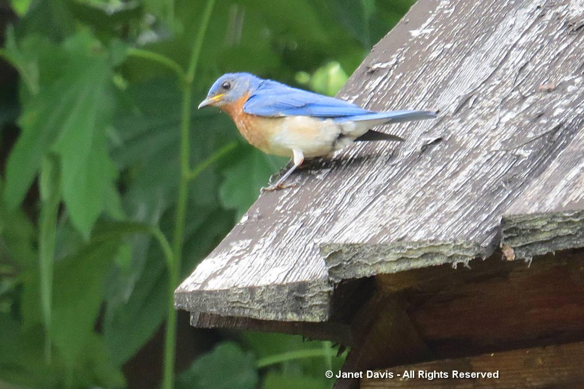 Bluebird-Monticello