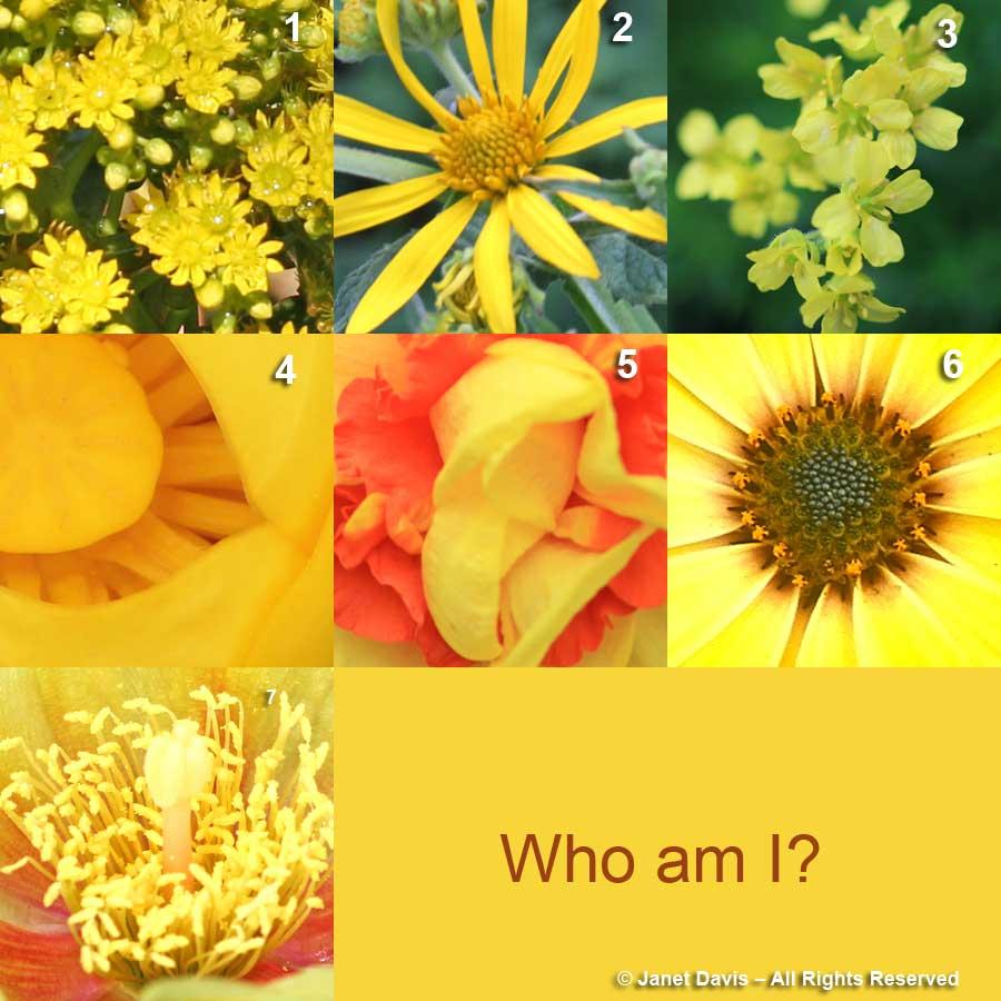 """DONOVAN"" (Mellow Yellow) 3-Draba brunifolia 6-Osterospermum 'Summertime Breeze' 4-Nuphar lutea 7-Opuntia humifusa 'Lemon Spreader' 2-Verbesina helianthoides 1-Aeonium 'Voodoo' 5-Narcissus 'Tamar Fire'"