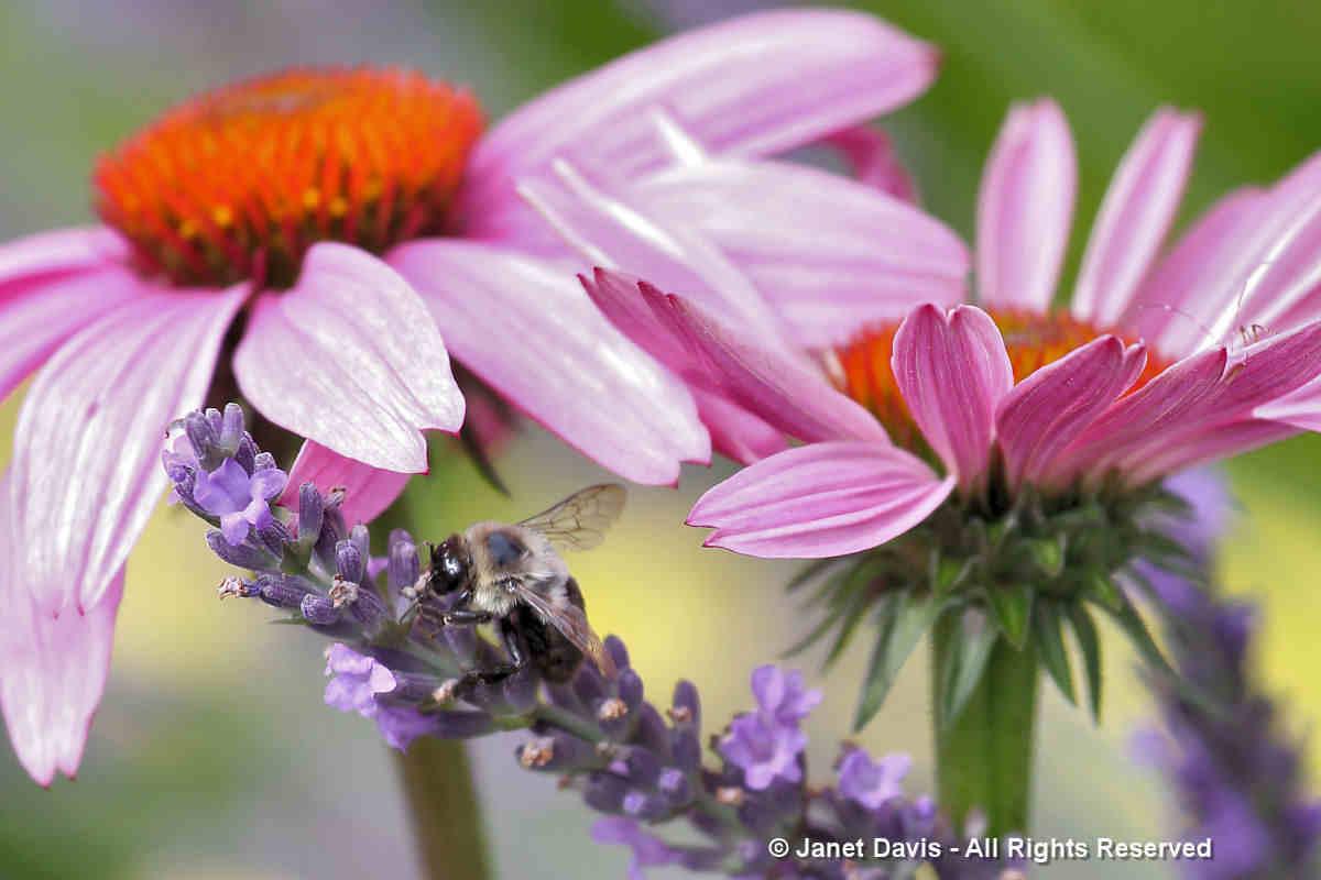 Echinacea & Lavandula-Tammy Schmitt