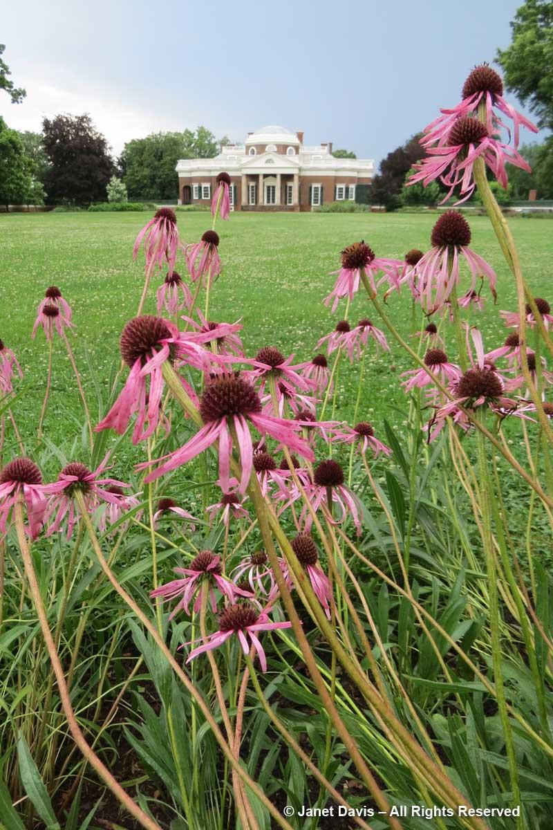 Echinacea angustifolia-Lewis & Clark Expedition-Monticello