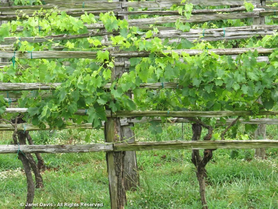 Grape Vines-2Monticello