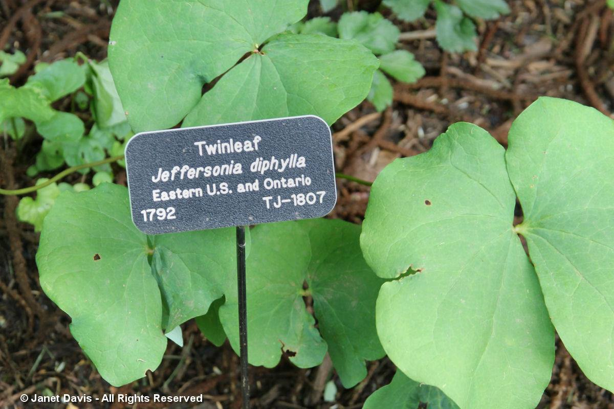Jeffersonia diphylla-Monticello Center for Historic Plants