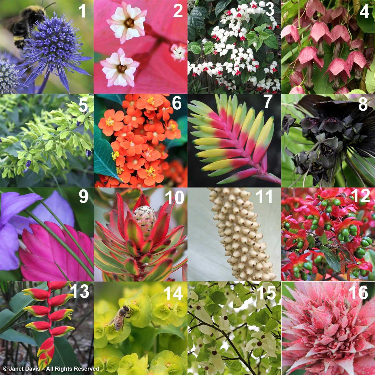 """LOVED THOSE BRACTS"" (yes, they're all bracts) 10. Leucadendron 'Jester' 12. Ochna serrulata 7. Vriesea carinata 1. Eryngium planum 15. Davidia involucrata 9. Tillandsia cyanea 13. Heliconia rostrata 6. Euphorbia fulgens 5. Salvia mexicana 'Limelight' 14. Euphorbia amygdaloides 'Purpurea' 2. Bougainvillea glabra 4. Rhodochiton atrosanguineus 'Purple Rain' 16. Aechmea fasciata 3. Clerodendrum thomsoniae 8. Tacca chantrieri 11. Spathiphyllum sp."