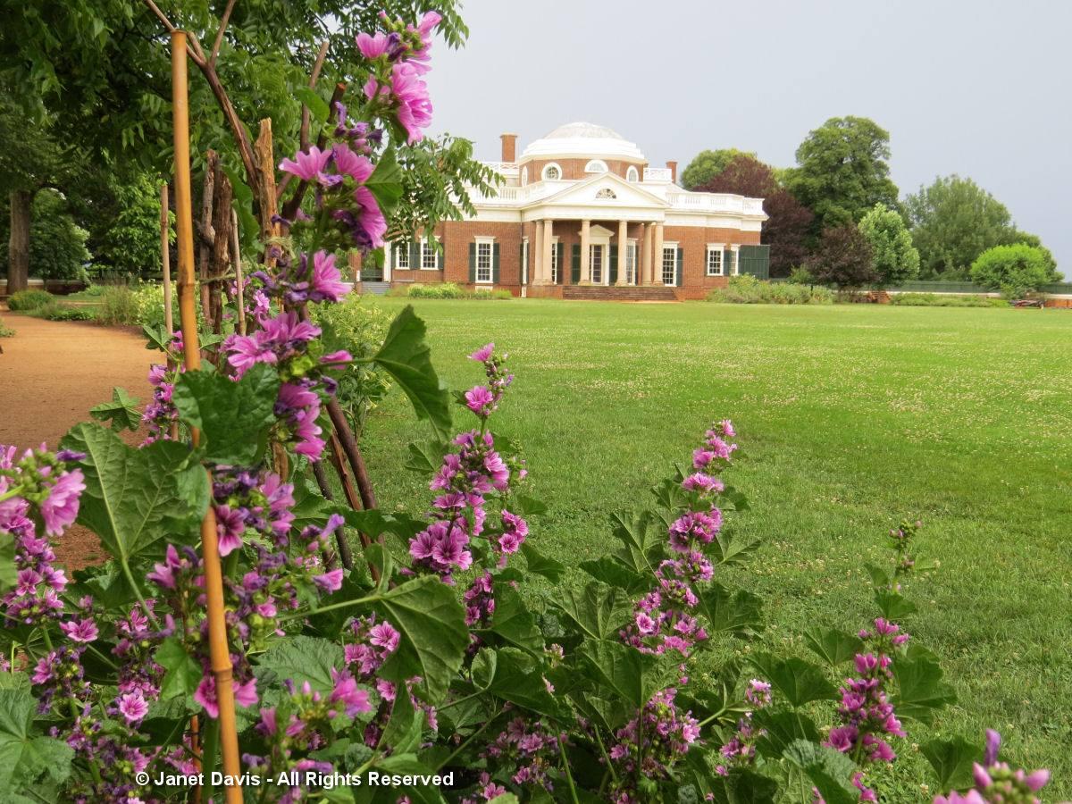 Malva sylvestris-Monticello