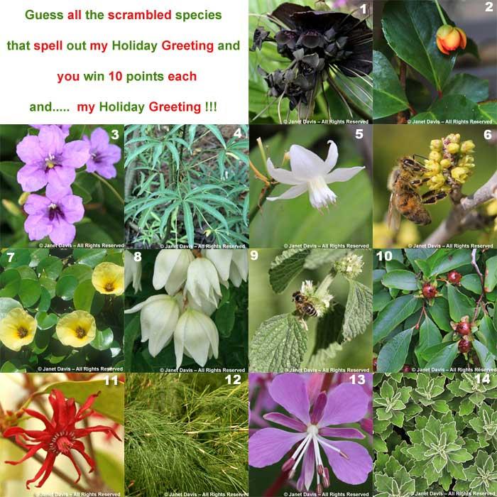 """MERRY CHRISTMAS"" 9 Marrubium vulgare - Horehound 5 Eucharis formosa – Amazon Lily 12 Restio quadratus – Square-Stalk Restio 3 Ruellia humilis – Wild Petunia 5 Yucca filamentosa - Adam's Needle 13 Chamerion angustifolium – Fireweed 7 Hydrocleys nymphoides – Water Poppy 6 Rhus aromatica 'Gro-Lo' – Fragrant Sumac 11 Illicium floridanum – Purple Anise 2 Schisandra sphenanthera - Schisandra 1 Tacca chantrieri – Black Bat Flower 4 Metapanax delavayi – Delavay's False Ginseng 14 Ajania pacifica – Pacific Chrysanthemum 10 Stewartia rostrata – Upright Stewartia"