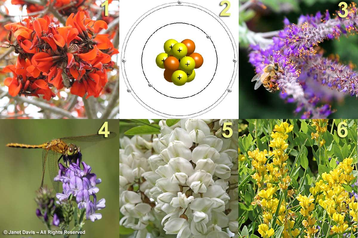 """MR BEAN"" (so legumes) 4. Medicago sativa – Alfalfa, Lucerne - Alys 5. Robinia pseudoacacia – Black locust – David & Amrita 6. Baptisia sphaerocarpa 'Screaming Yellow' – Yellow baptisia – David & Amrita (& Liberto's clues...) 1. Erythrina caffra – African coral tree – David & Liberto 3. Amorpha canescens – Lead plant – Amrita & David 2. Nitrogen – atomic number 7 - Liberto!!"