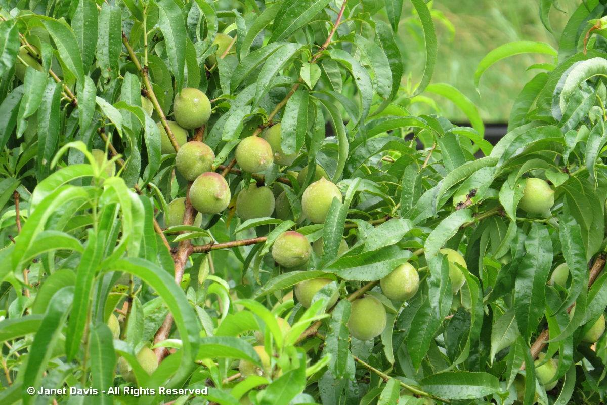 Peaches-Monticello Fruitery