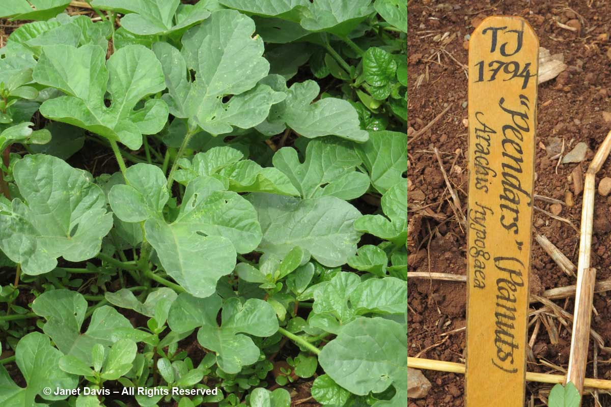Peanuts-Arachis hypogaea-Monticello