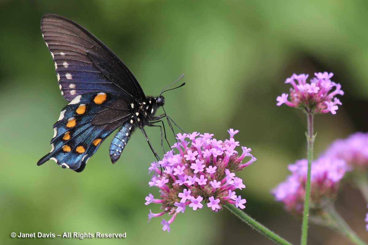 Pipevine Swallowtail-Battus philenor-Verbena bonariensis-CHP-Monticello