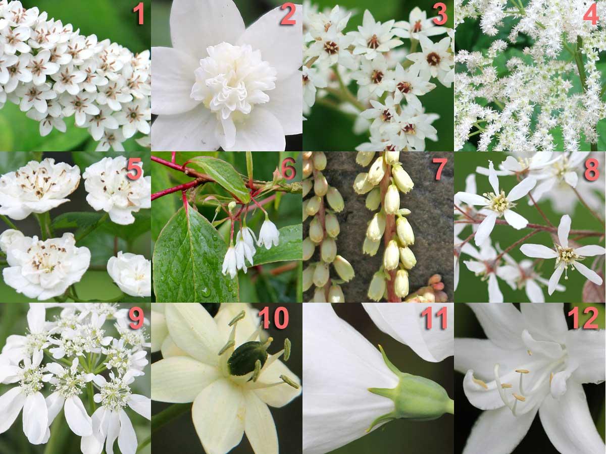 """PROCOL HARUM"" – (Colour theme: A Whiter Shade of Pale) 11-Platycodon grandiflorus 'Albus' 4-Rodgersia aesculifolia 9-Orlaya grandiflora 5-Crataegus mordenensis 'Snowbird' 10-Ornithogalum saundersiae 1-Lysimachia clethroides 12-Hosta 'Hoosier Harmony' 2-Anemone nemorosa 'Vestal Virgin' ** 6-Rehderodendron macrocarpum 7-Umbilicus rupestris 3-Mukdenia rossii * Odd one out is #2 – Anemone nemorosa 'Vestal' for Vestal Virgin"