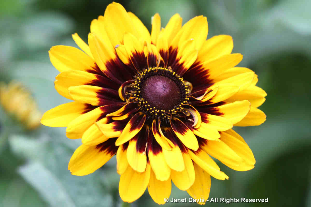 Rudbeckia hirta-Gloriosa daisy