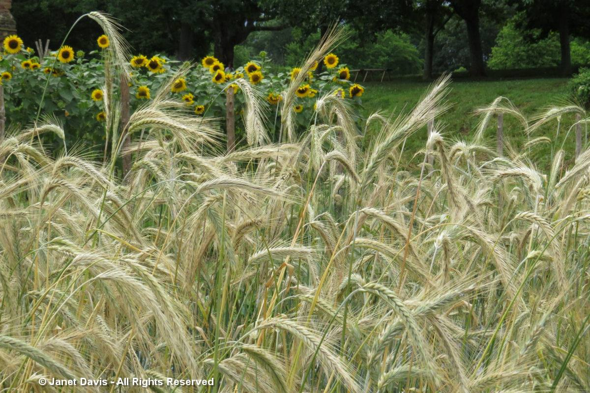 Wheat & Sunflowers-Monticello