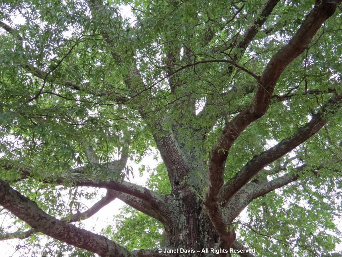 Willow oak-Quercus phellos