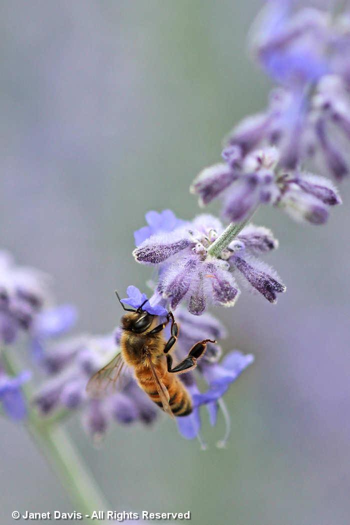 Bee on Perovskia atriplicifolia
