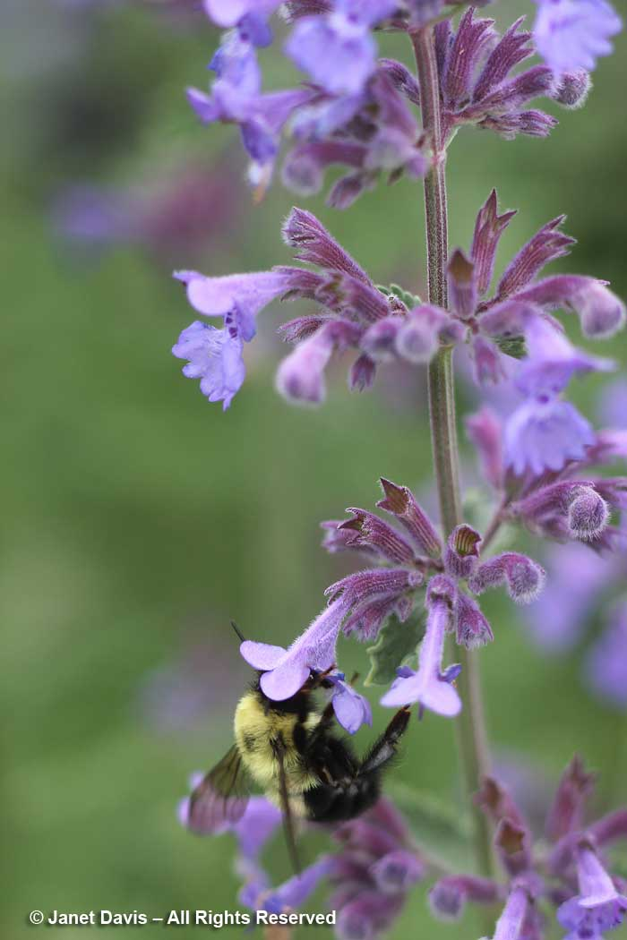 Bombus on Nepeta racemosa 'Walker's Low'