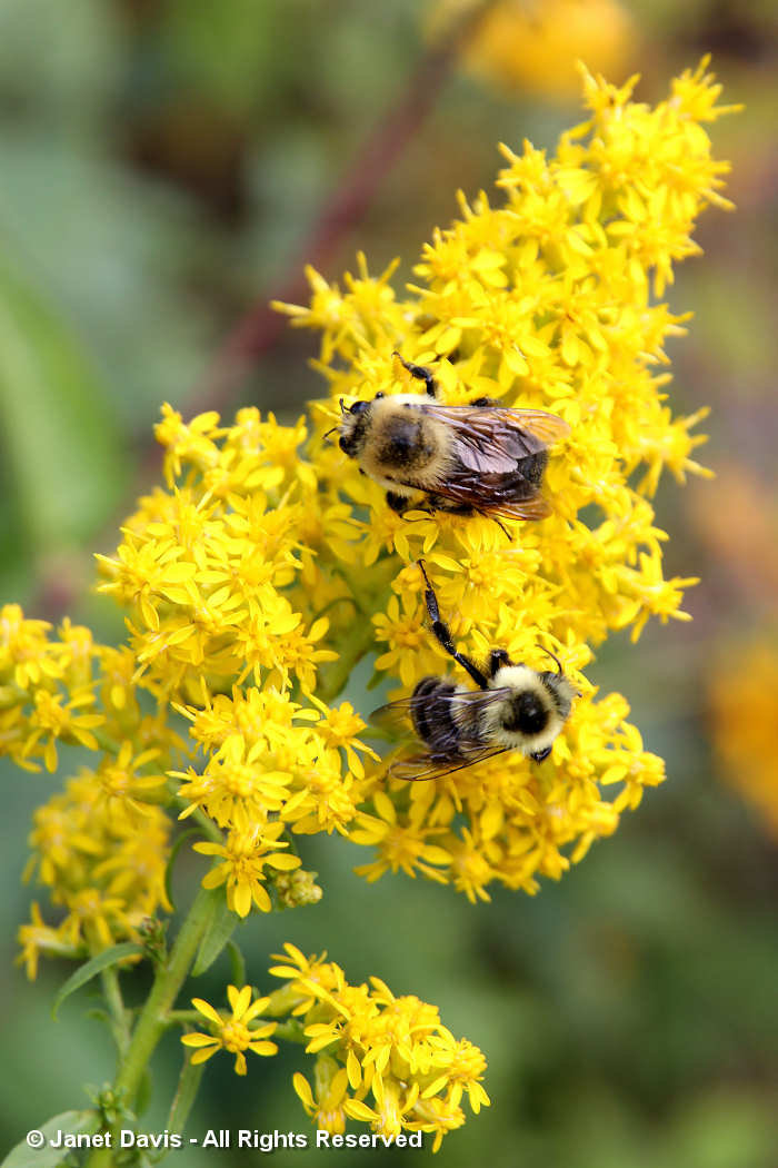 Bombus on Solidago speciosa-showy goldenrod