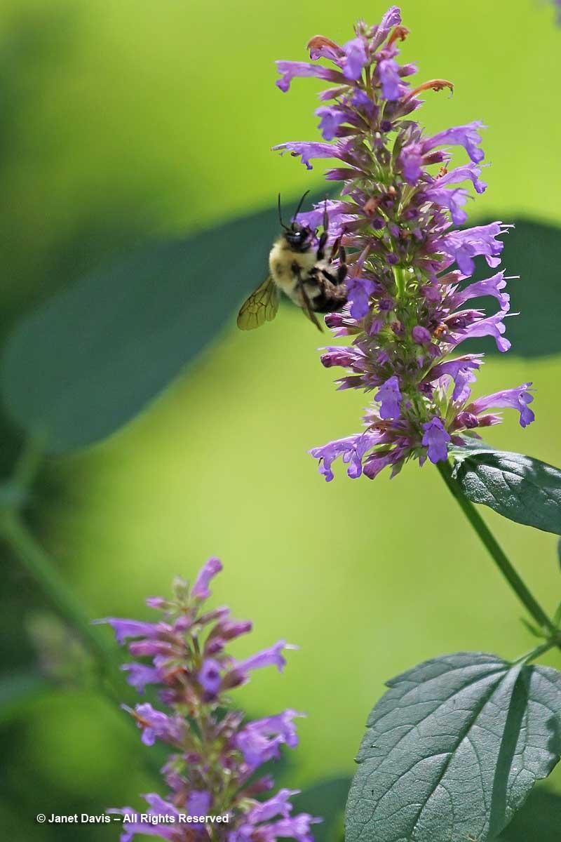 Bumble bee-Agastache 'Blue Boa'