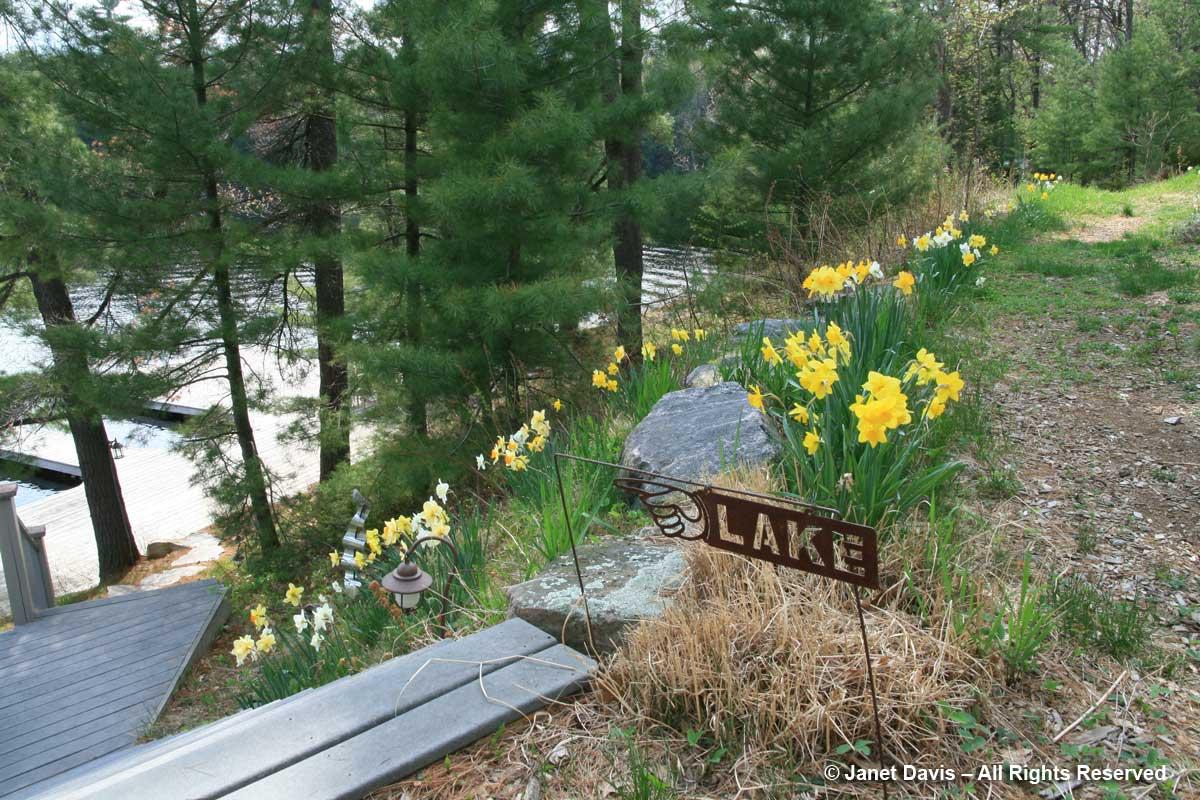 Daffodils-Cottage-Lake Muskoka