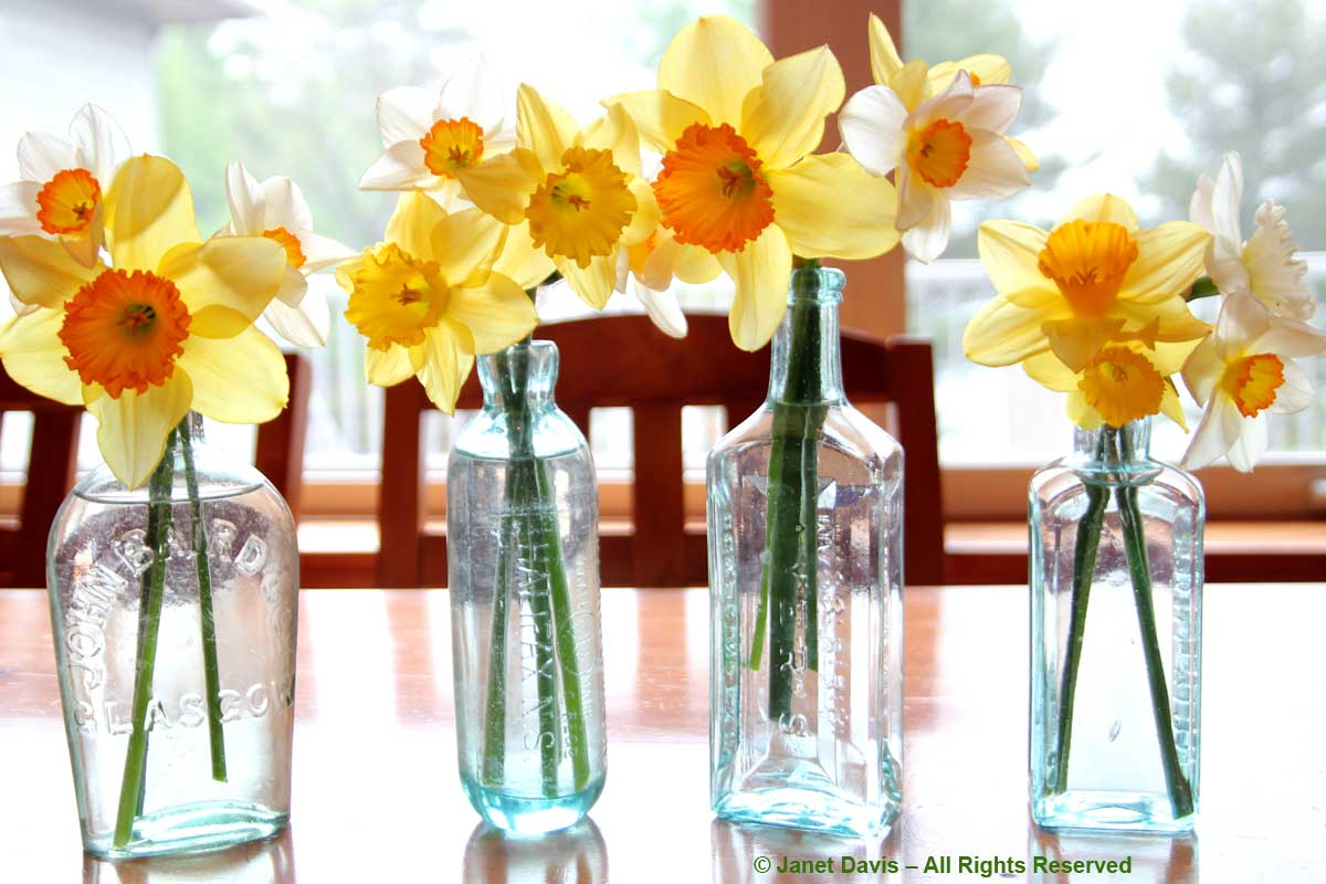 Daffodils-Lake Muskoka