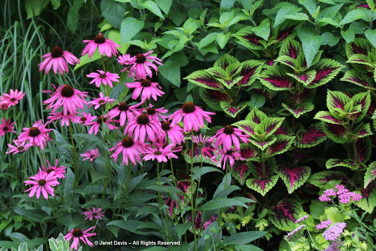 Echinacea & Coleus-Barbara Katz
