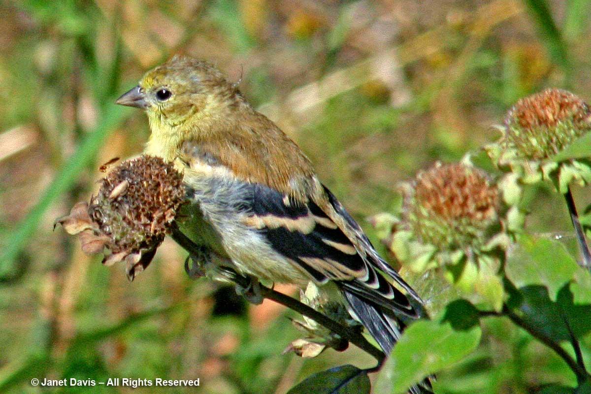Goldfinch eating monarda seed-Lake Muskoka