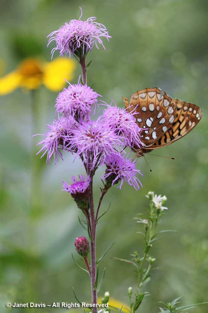 Great Spangled Fritillary-on Liatris ligulistylis-Lake Muskoka
