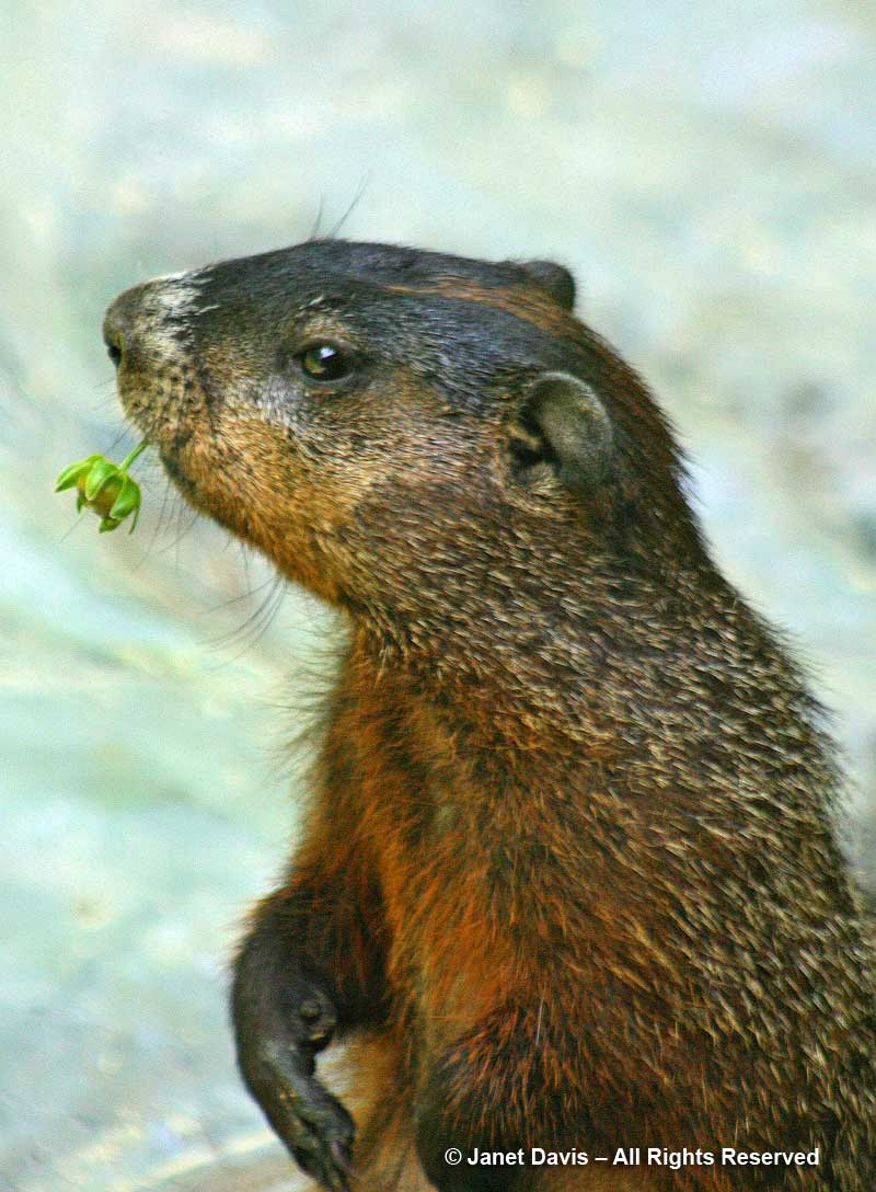 Groundhog-eating coreopsis-Lake Muskoka