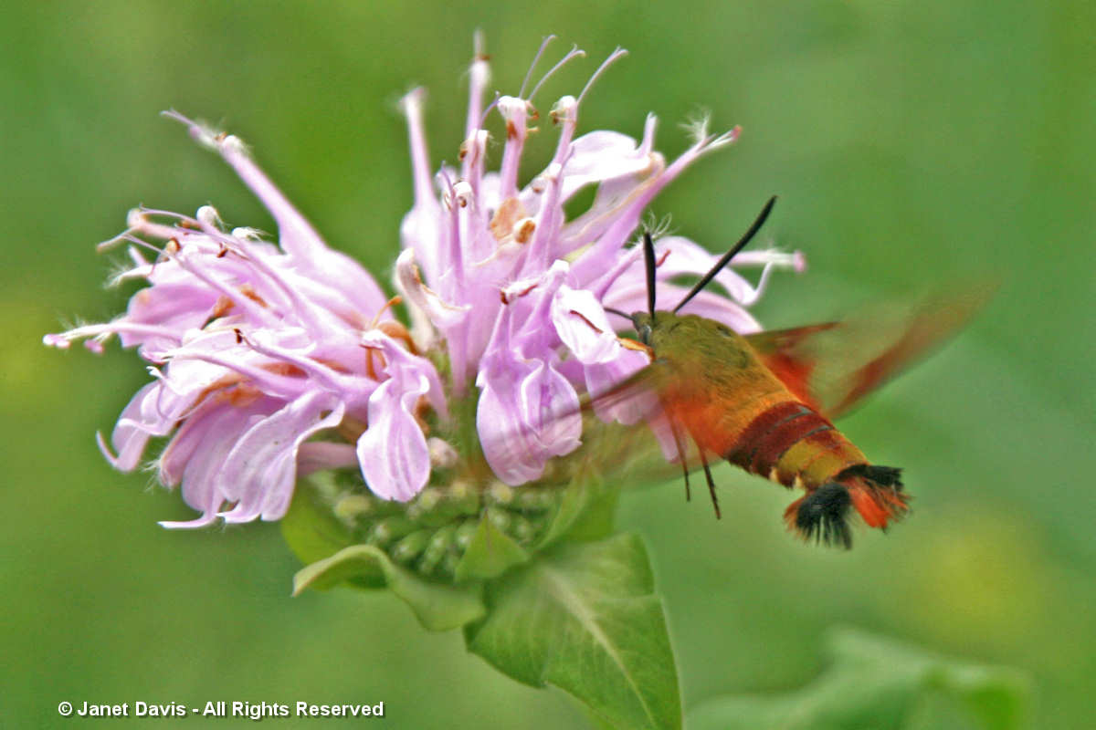 Hummingbird clearwing moth on Monarda fistulosa-Lake Muskoka