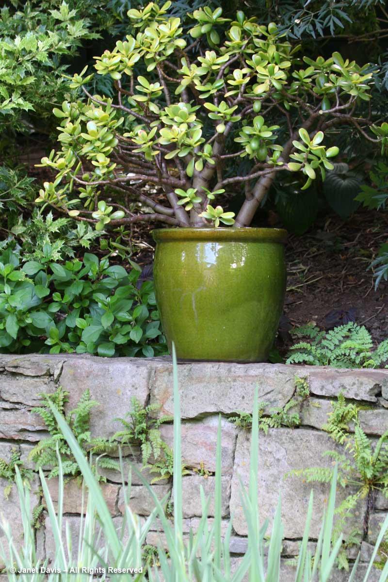 Jade Plant-Katz