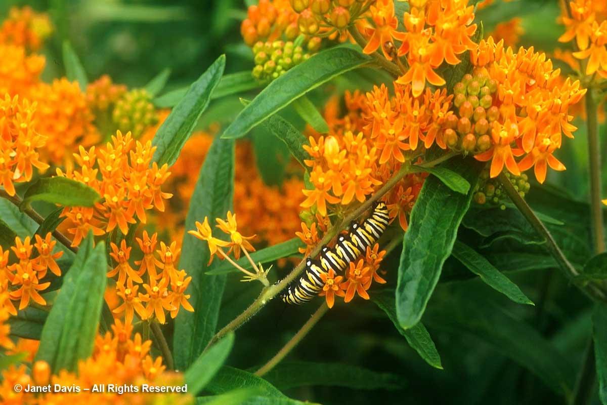 Monarch caterpillar on butterfly milkweed-Asclepias tuberosa