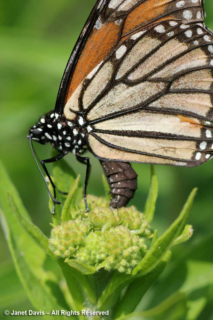 Monarch ovipositing on Asclepias tuberosa-butterfly milkweed