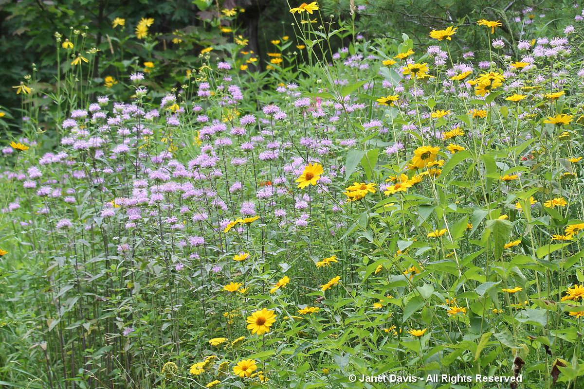 Monarda fistulosa & Heliopsis helianthoides