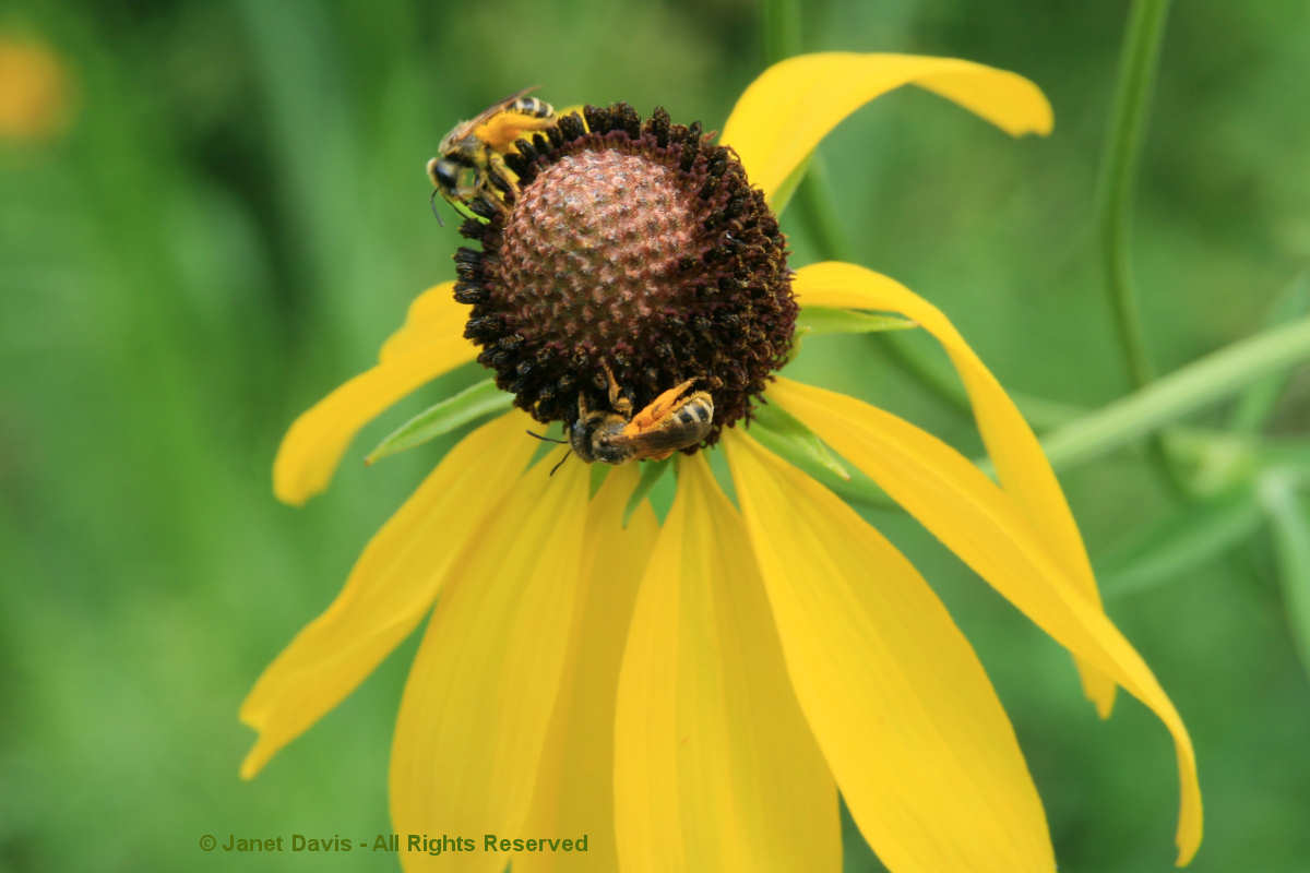 Native bees on Ratibida pinnata