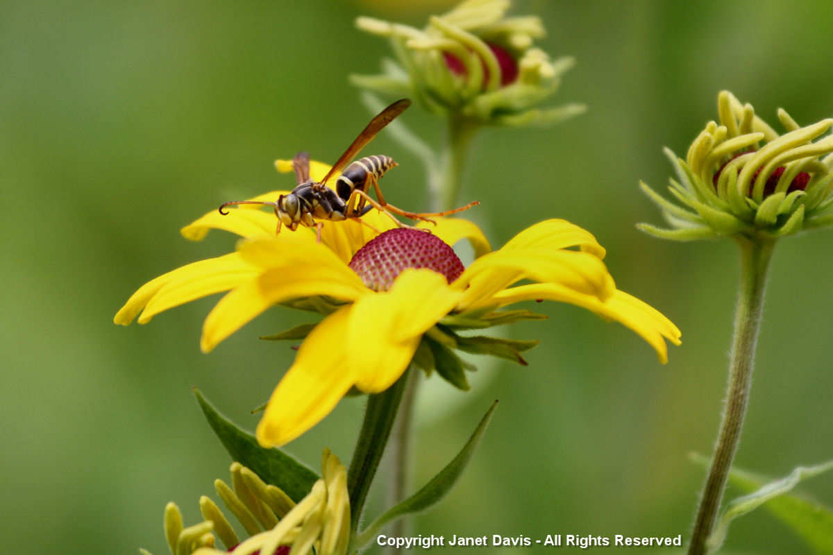 Native wasp on Rudbeckia subtomentosa